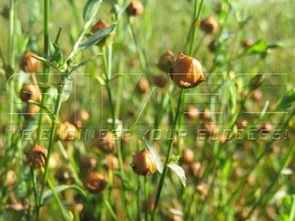 flaxseed-plantation